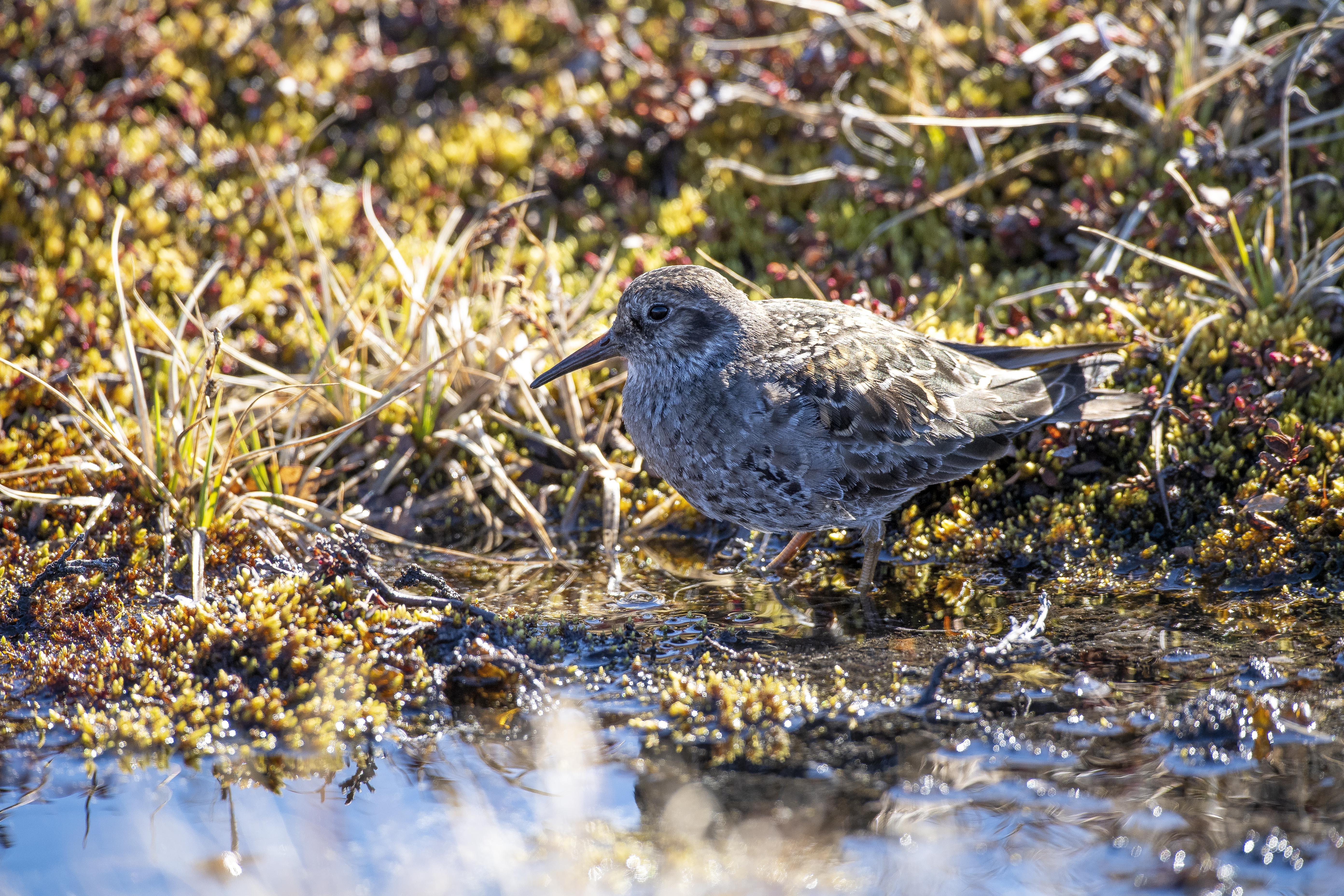 Arctic-Bird-016_Florian-Ledoux